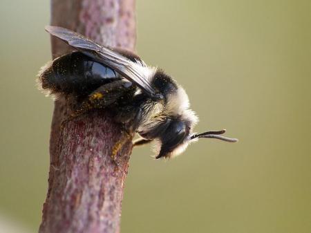 Andrena cineraria - Pszczolinka niebieskawa