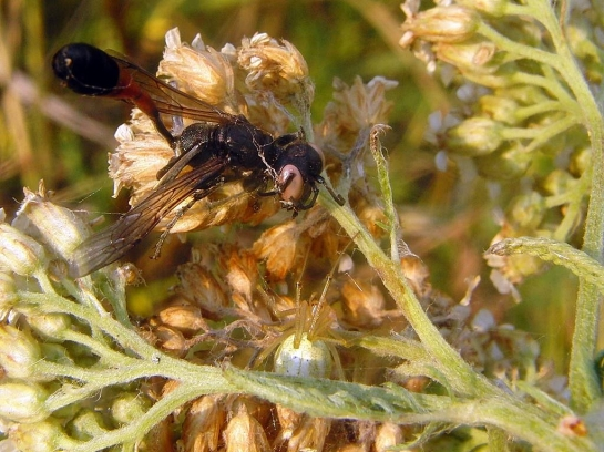 Lublinek. 22.07.2010    Ta samica wpadła w sieć pająka z gatunku Enoplognatha ovata. Po śmierci oczy przybrały kremową barwę