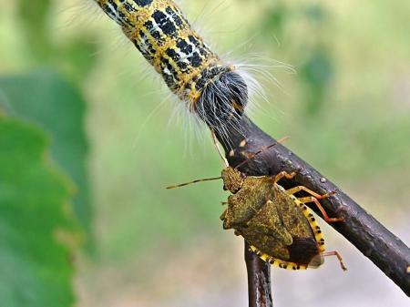 Widzew 06.08.2010  Celem ataku znacznie większa gąsienica narożnicy zbrojówki Phalera bucephala