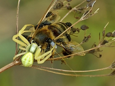 Nowy Józefów 07.09.2012  Muchy z Milichidae korzystają z okazji, aby uszczknąć co nieco z kwietnikowego obiadu