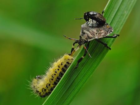 Struga Dobieszkowska 02.07.2012   Mucha z rodziny Ephydridae Discomyza incurva znalazła sobie specyficzne miejsce na lądowisko