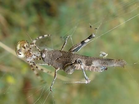 Widzew 04.08.2010 Araneus quadratus już się zbliża