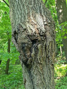 Las wiączyński 23.05.2012 Drzewo, wokół którego latał samiec