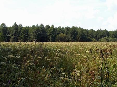 Rezerwat Oleszno 02.08.2012 Ogromne śródleśne baldachowisko i jego obrzeża - siedlisko bagnika