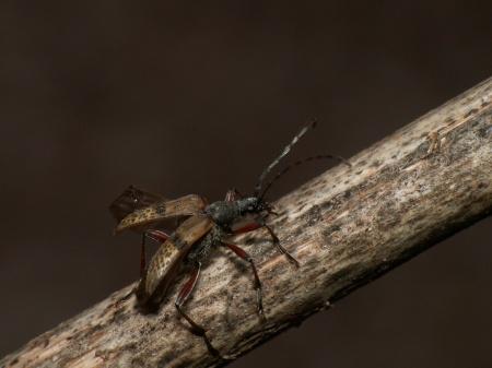 Lista gatunków - Coleoptera