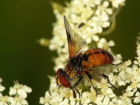 Park Poniatowskiego 26.07.2012 Samica przypominająca ubarwieniem odwłoka samca, co zdarza się regularnie