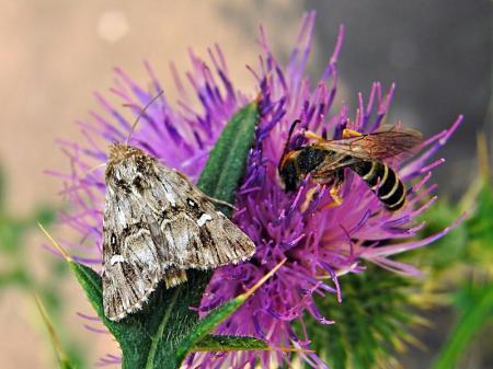 Widzew 07.08.2010 Obok smuklik z rodzaju Halictus
