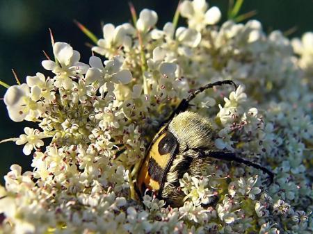 Widzew 14.07.2010 Nocuje zagrzebany w kwiatostanach