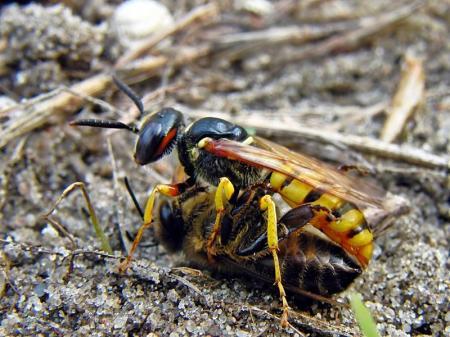 Widzew 10.08.2011 Dorodna samica z robotnicą pszczoły miodnej