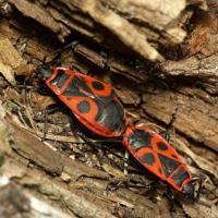 Pyrrhocoridae - Kowalowate