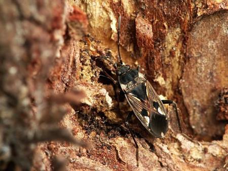 Rhyparochromus vulgaris - Brudziec zwyczajny