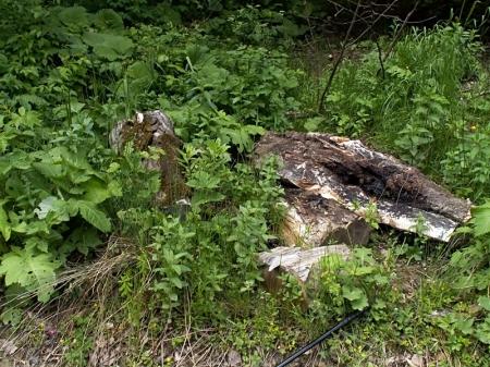 Zatwarnica 29.05.2013 Na tych powalonych pniach samiec strzegł terytorium