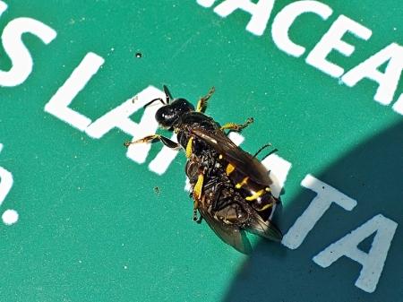 ŁOB 15.06.2011 Samica z upolowaną muchówką przysiadła na tabliczce informacyjnej