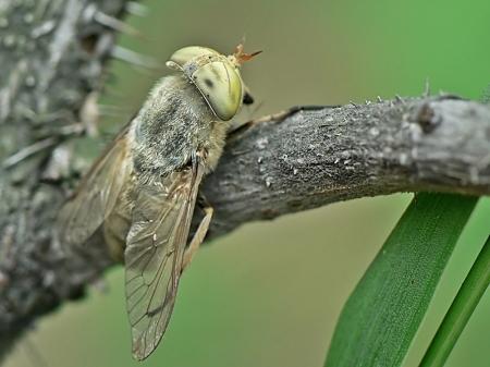 Tabanidae - Bąkowate