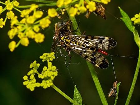 Nowy Józefów 29.07.2011 Samica plądruje sieć pajaka