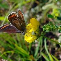 Aricia agestis - Modraszek iglicznik