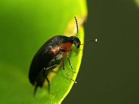 Mordellidae - Schylikowate
