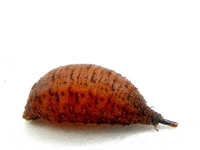 Bobówka, czyli poczwarka w osłonce - znalazłem ją wczesną wiosną 2010 roku i doczekałem się wylotu imago
