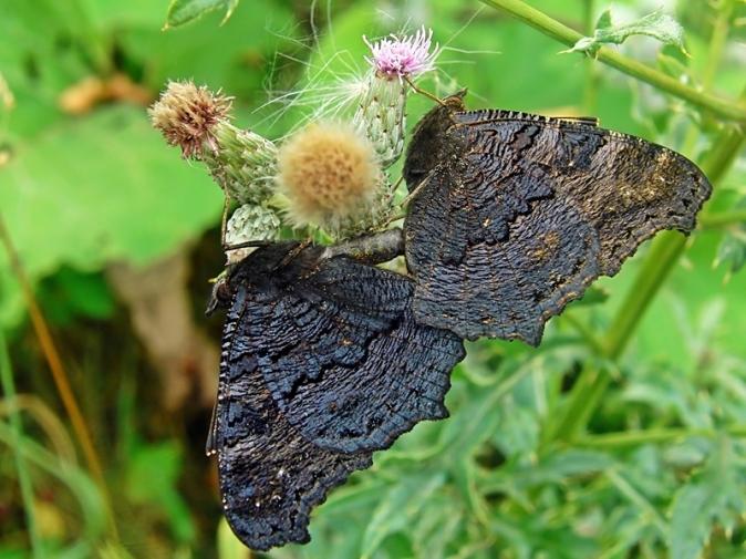 Widzew 22.07.2010 In copula - nieczęsty widok, choć gatunek pospolity