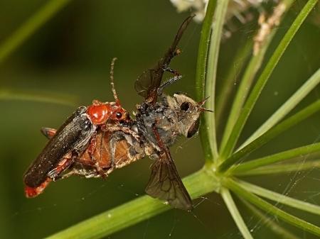 Modlica 28.06.2013 Schwytana w pajęczą sieć samica Hybomitra sp. to łakomy kąsek