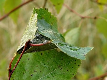 Stryków 29.08.2010 W spiętym nicią liściu samica dogląda jaj i małych pajączków