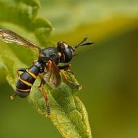 Conopidae - Wyślepkowate