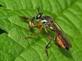 Widzew 08.06.2011 Ze złowionym Braconidae
