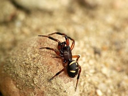 Therididae - Omatnikowate