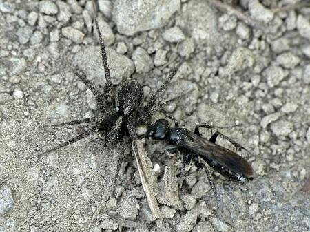 Brzeziny 02.08.2012 Samica prawdopodobnie gatunku Anoplius nigerrimus ze złowionym pająkiem z rodzaju Pardosa
