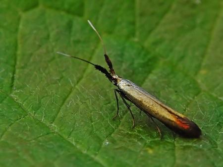 Widzew 25.06.2012 Bardzo możliwe, że to Coleophora mayrella, gatunek związany z koniczyną