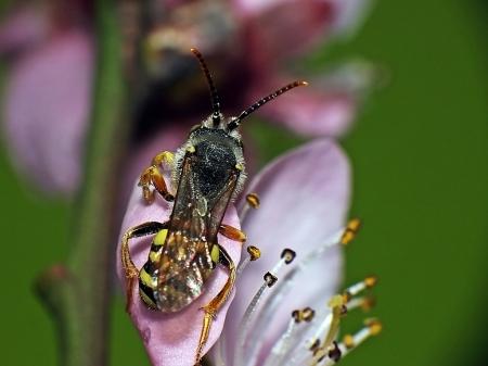 Majerowskie Błota 07.04.2014 Spasożytowany samiec na kwitnącej brzoskwini