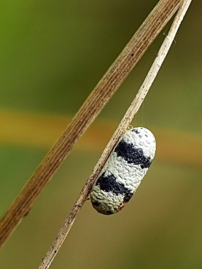 Kokon - tu z podrodziny Ichneumoninae - powstaje już po opuszczeniu żywiciela