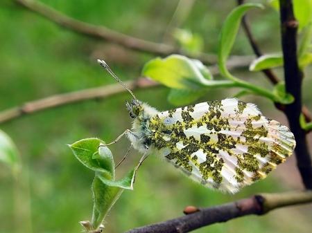 Pieridae - Bielinkowate