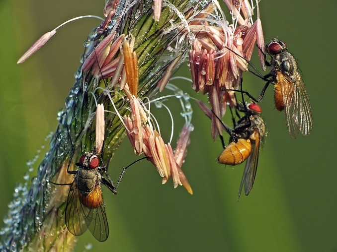 Las żeromiński 20.05.2014 Noce samice spędzają na trawach i można je na nich rankiem licznie obserwować