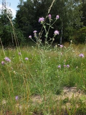 Chaber - roślina żywicielska