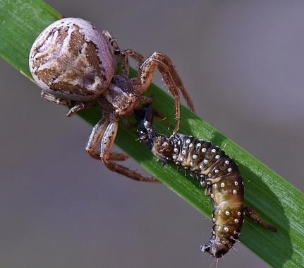 Widzew 12.06.2010 Ze złowioną gąsienica z rodzaju Aphelia