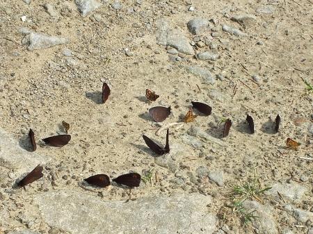 Szlak na Połoninę Caryńską 28.05.2014 W towarzystwie kosternika Carterocephalus palaemon