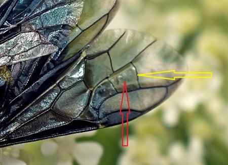 Czerwona strzałka wskazuje niemal równoboczną komórkę 2RS, żółta żyłkę 3rm wygiętą łukowato w charakterystyczny dla gatunku sposób