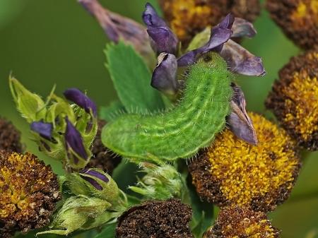 Widzew 02.07.2014 Gąsienica może należeć do innego gatunku modraszka