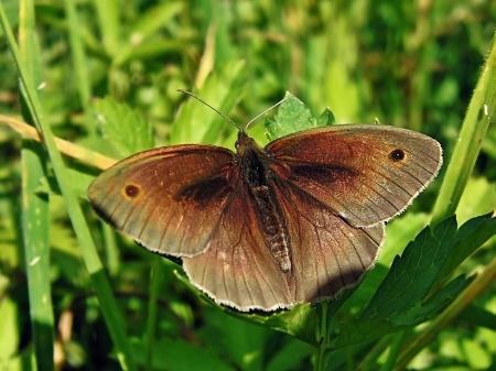 Widzew 07.07.2010 Osobnik z jedną tylko parą oczek na wierzchniej stronie skrzydeł