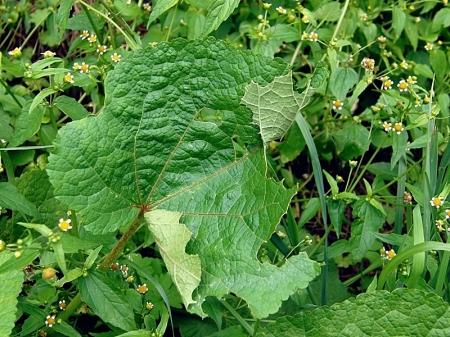 Widzew 28.08.2010 Roślina żywicielska - malwa