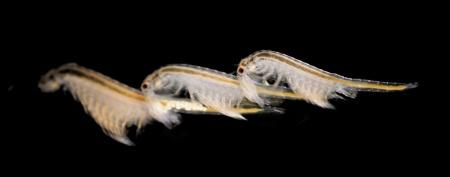 Artemia salina Źródło: http://www.ypsfanpage.de/gimmicks/krebse.php
