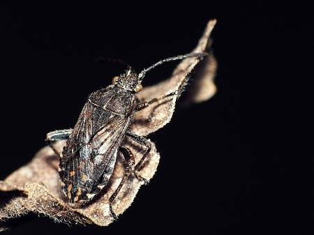 Widzew 14.10.2014 Przedplecze gęsto punktowane, wierzchołek tarczki ostry - Stictopleurus punctatonervosus