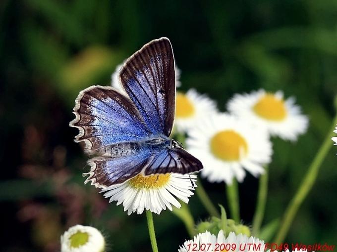 Wasilków 12.07.2009 Piękna samica z błękitną górną powierzchnią skrzydeł Fot. Alm,andyn