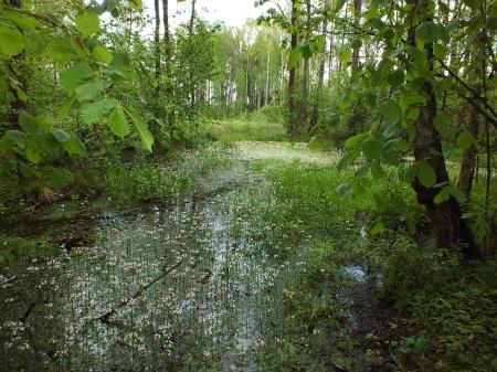 Fragment lasu żeromińskiego