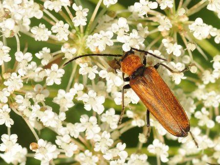 Oedemeridae - Zalęszczycowate