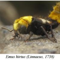 Emus hirtus - Rabież trzmielowiec