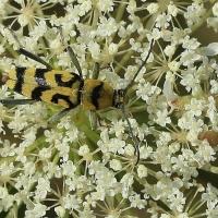 Chlorophorus varius - Tryk klonowiec
