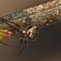 Araneidae - Krzyżakowate