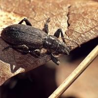 Brachyderes incanus - Choinek szary